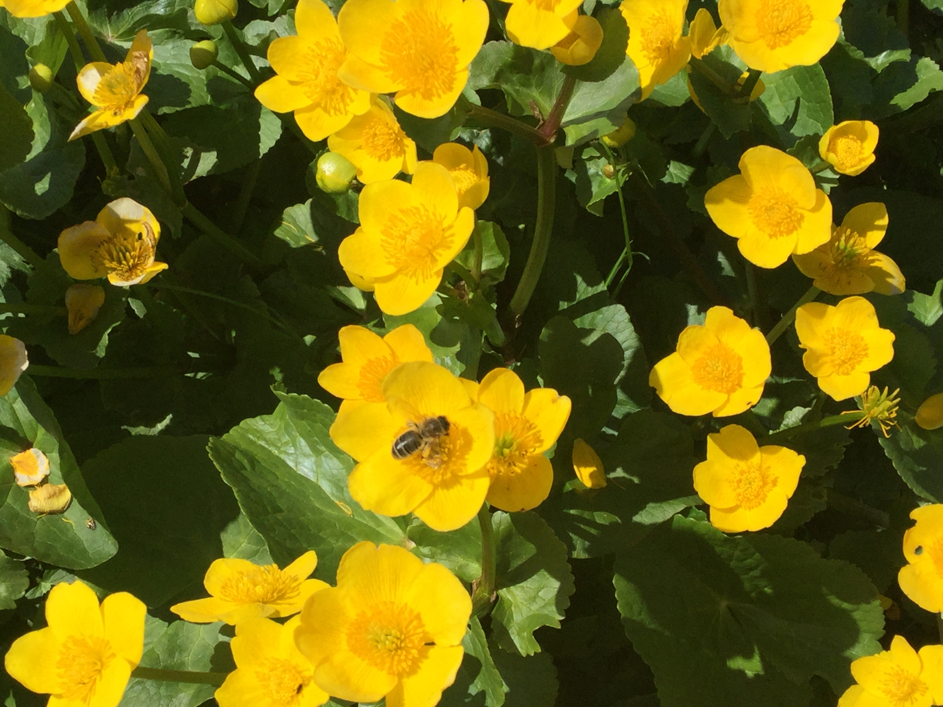 Monastery Bee on Marsh Marigolds